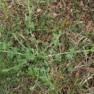 Photographie n°1176346 du taxon Bryonia dioica Jacq. [1774]