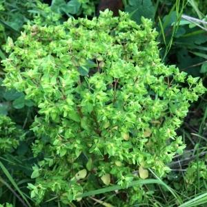 Photographie n°1176996 du taxon Euphorbia peplus L. [1753]