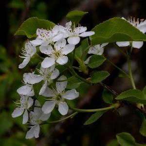Photographie n°1177499 du taxon Prunus mahaleb L.