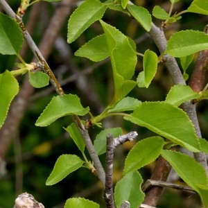 Photographie n°1177500 du taxon Prunus mahaleb L.