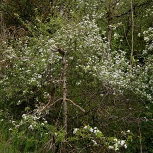 Photographie n°1177501 du taxon Prunus mahaleb L.