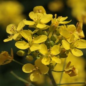 Brassica napus L. (Colza)