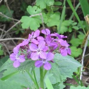 Photographie n°1184823 du taxon Lunaria annua L.