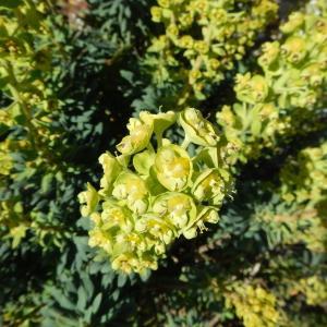 - Euphorbia characias subsp. wulfenii (Hoppe ex W.D.J.Koch) A.R.Sm. [1968]