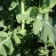 Liliane Roubaudi - Brassica rapa subsp. napus (L.) Briq. [1913]