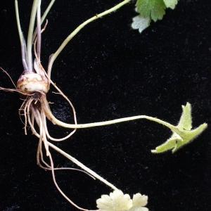 Photographie n°1188320 du taxon Ranunculus bulbosus L. [1753]