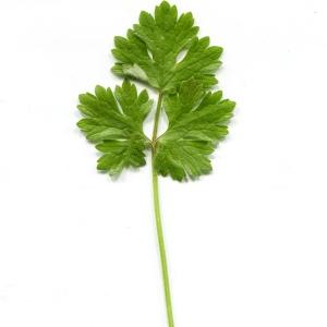 Photographie n°1188322 du taxon Ranunculus bulbosus L. [1753]