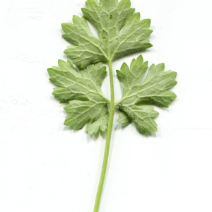 Photographie n°1188324 du taxon Ranunculus bulbosus L. [1753]