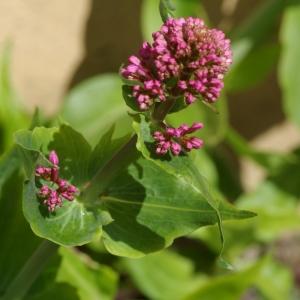 Photographie n°1188352 du taxon Centranthe lilas-d'Espagne