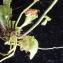 Liliane Roubaudi - Arabidopsis thaliana (L.) Heynh. [1842]