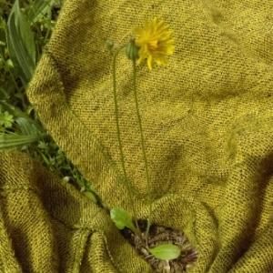 Photographie n°1190096 du taxon Crepis sancta (L.) Bornm. [1913]