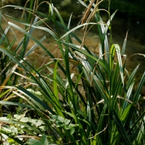 Photographie n°1190179 du taxon Carex pendula Huds.
