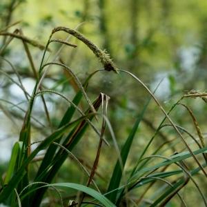 Photographie n°1190180 du taxon Carex pendula Huds.