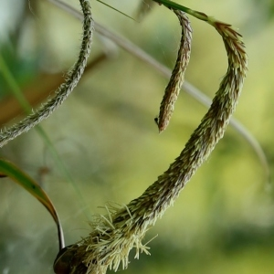 Photographie n°1190181 du taxon Carex pendula Huds.