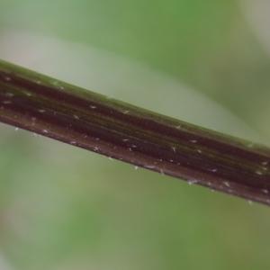 Photographie n°1192498 du taxon Sinapis arvensis L. [1753]