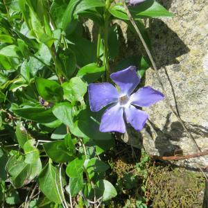 Photographie n°1193290 du taxon Vinca major subsp. major