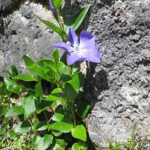 Photographie n°1193293 du taxon Vinca major subsp. major