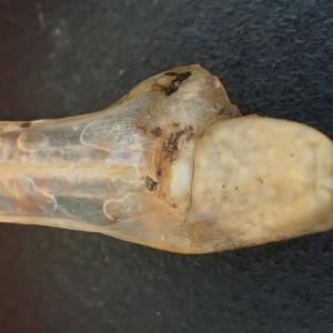 Isoetes setacea Lam. [1789] (Isoète grêle)