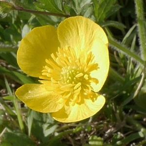 Photographie n°1197044 du taxon Ranunculus bulbosus L. [1753]