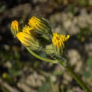 Photographie n°1206790 du taxon Crepis sancta (L.) Bornm. [1913]