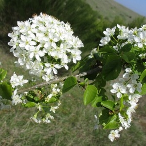 Photographie n°1208156 du taxon Prunus mahaleb L.