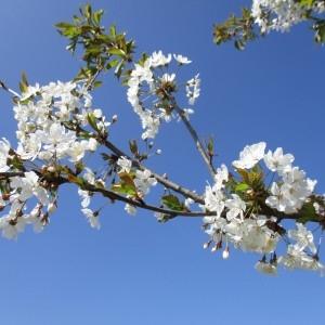Photographie n°1208161 du taxon Prunus avium (L.) L. [1755]