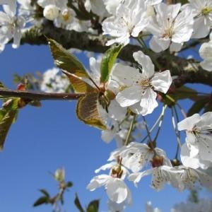 Photographie n°1208162 du taxon Prunus avium (L.) L. [1755]