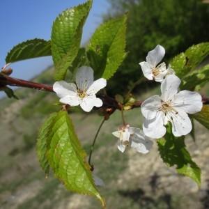 Photographie n°1208169 du taxon Prunus avium (L.) L. [1755]