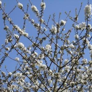 Photographie n°1208179 du taxon Prunus avium (L.) L. [1755]