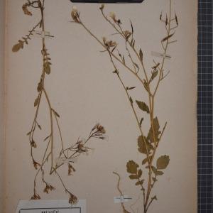 Photographie n°1208751 du taxon Raphanus raphanistrum L. [1753]