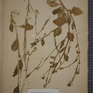 Photographie n°1208752 du taxon Sinapis arvensis L. [1753]