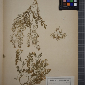 Photographie n°1208766 du taxon Nasturtium sylvestre, R. Brown