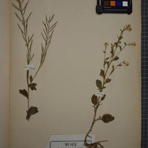 Photographie n°1208775 du taxon Barbarea vulgaris, R, Br,