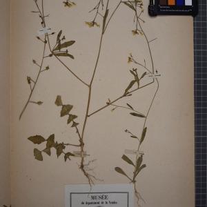 Photographie n°1208783 du taxon Bunias erucago L. [1753]