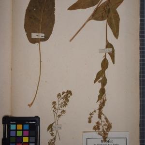 Photographie n°1208803 du taxon Lepidium latifolium, L.