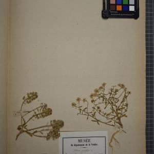 Photographie n°1208811 du taxon Iberis amara L. [1753]