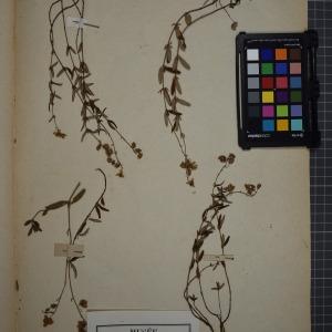 Photographie n°1208820 du taxon Helianthemum vulgare, Goertn