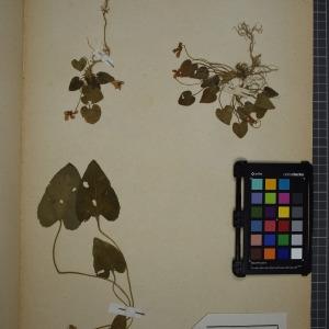 Photographie n°1208823 du taxon Viola hirta L. [1753]
