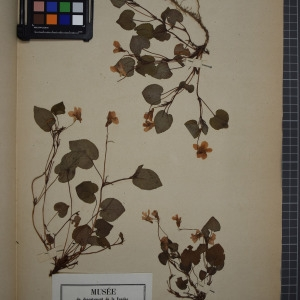Photographie n°1208827 du taxon Viola riviniana, Reich.