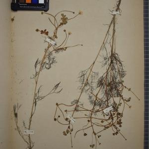 Photographie n°1208831 du taxon Ranunculus baudotii Godr. [1840]