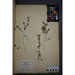 Ranunculus circinatus Sibth. (Renoncule en crosse)