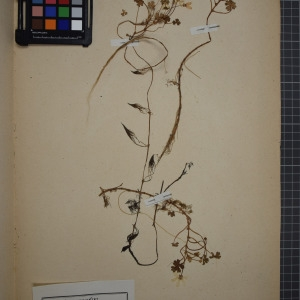 Photographie n°1208836 du taxon Ranunculus ololeucos, Lloyd