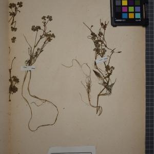 Photographie n°1208838 du taxon Ranunculus tripartitus DC. [1807]