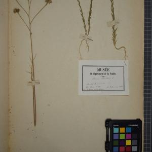 Photographie n°1208853 du taxon Linum strictum, L.