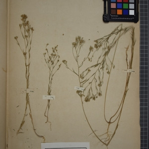 Photographie n°1208854 du taxon Linum strictum, L.var. corymbulosum = Linum strictum corymbulosum Rchb.
