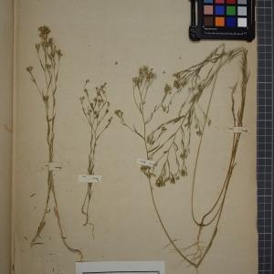 Photographie n°1208855 du taxon Linum strictum, L.var. corymbulosum = Linum strictum corymbulosum Rchb.