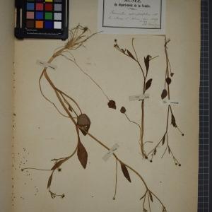Photographie n°1208863 du taxon Ranunculus ophioglossifolius Vill. [1789]