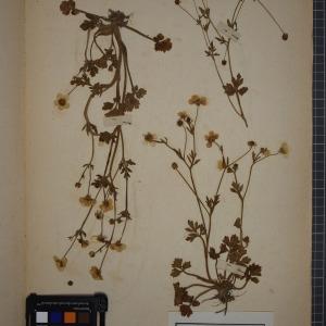 - Ranunculus philonotis Ehrh. [1783]