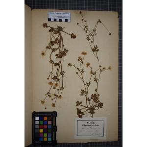 Ranunculus sardous f. xatardii (Lapeyr.) B.Bock (Renoncule de Xatard)