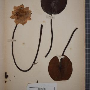 Photographie n°1208886 du taxon Nymphaea alba L. [1753]